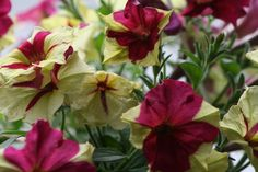 Pleasing Petunias by joann.kunkle