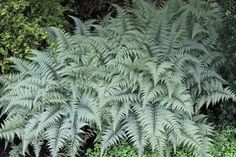 Athyrium Ghost (Ghost Fern) : Athyrium 'Ghost' is a tremendous hardy fern introduction from the Virginia garden of our friend, the late Nancy Swell. This vigorous and easy-to-gr...