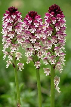 Burnt orchid [Orchis ustulata]