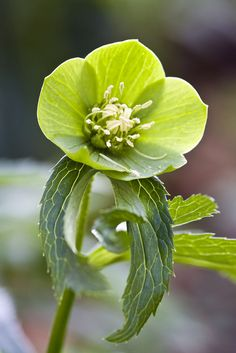 (Green Hellebore) The Cherokee used the green hellebore to relieve body pains...