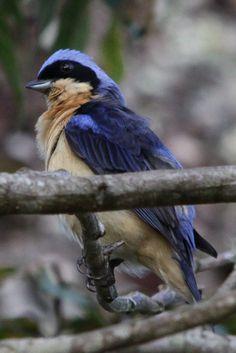 Fawn-breasted Tanager  (Pipraeidea melanonota) Saíra-viúva