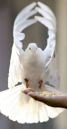Fashion,Beauty,Landscape,Home Designe,Sexy Girls. Pretty Birds, Beautiful Birds, Animals Beautiful, Beautiful Images, Animals And Pets, Cute Animals, Desenho Tattoo, Kinds Of Birds, White Doves