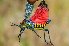 Magnificent colors - grasshopper from Madagascar