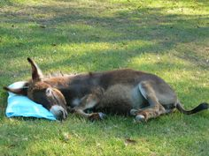 Kindifarm has a miniature Mediterranean donkey for hire for Christmas, Easter, Anzac Day and special events. Donkeys love attention and …
