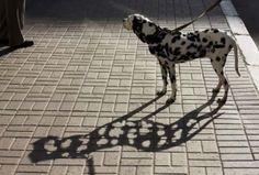 Esta debería ser la sombra de un dalmata! -->