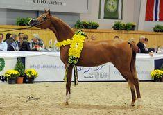 Arabhorse.com - Frank Sponle Show Training - Arabian Horse