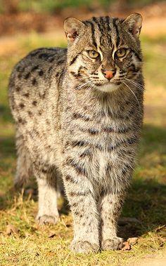 Fishing Cat (by TenPinPhil)
