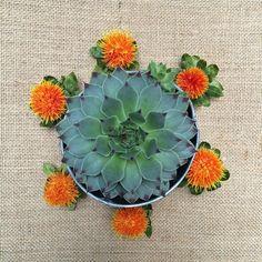 We #love #succulents #suculentas #plants #green #carthamus #colors #colores #flores #flowers #coolplants #ilovesucculents #onlysucculents #flow #letitflow