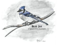 Original artwork created by Erin Crumpler for Friends of Coppell Nature Park (c) Blue Jay, Original Artwork, Birds, Park, The Originals, Friends, Nature, Animals, Animales