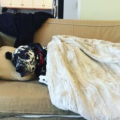 Blizzard preparedness #dalmatian style. I've got my pillow my blank i.e. my mommy and Netflix nature documentaries #dogsofinstagram #doglife #blizzard2016