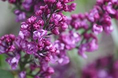 Lilacs -One of my favorite scents
