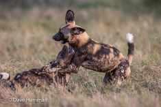 The first 2 weeks of December is a great time at Chitabe. The first rains have come, giving the vegetation its first flush of green and all this new growth has stimulated a proliferation of new born herbivores. All the predators eagerly await this period too. Wild dogs with their pups take advantage of this bounty. Cooler conditions and lots of prey are all the dogs need to have fun. African Wild Dog, Wild Dogs, New Growth, Predator, Kangaroo, Safari, Period, Pup, Have Fun