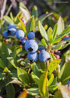 Wild Blueberries, Acadia National Park, Maine