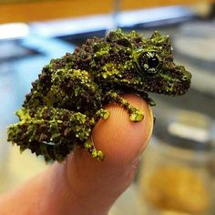 Beautiful Vietnamese Mossy Tree Frog X Les Reptiles, Reptiles And Amphibians, Animals And Pets, Baby Animals, Cute Animals, Beautiful Creatures, Animals Beautiful, Unusual Animals, Interesting Animals
