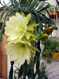 Entre flores: Epiphyllum sp.