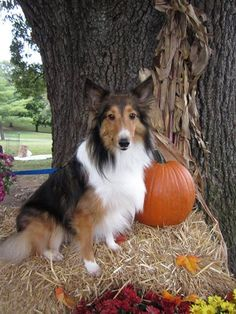 Fall Sheltie
