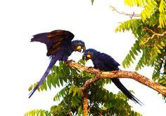 IMG_6145/Brazil/Rio Grande Do Sul/Pantanal/ Ara Hyacinthe/ Anodorhynchus hyacinthinus/Hyacinth Macaw