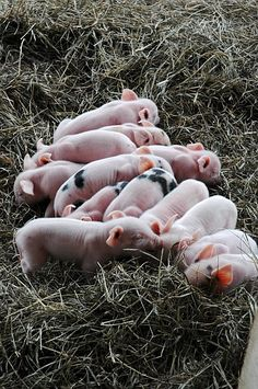 Little Piggy's!