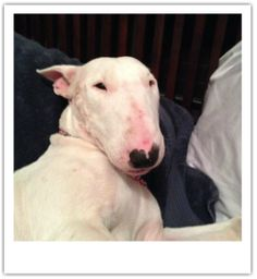 #SCAROLINA ~ Delilah is around 1 year old, awe-DORABLE & a typical stubborn & very smart Bull Terrier girl! She's seeking an experienced Bullie owner in her loving fur-ever home!!  #Adopt her thru Recycla-Bull Terrier Rescue  mailto:lauraljenk...