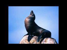 Sonido de la foca.sonidos cortos de animales - YouTube