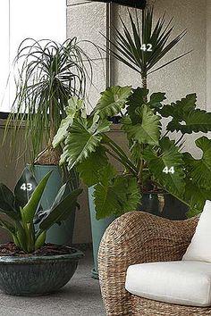 plantas de apartamento: pata-de-elefante (41) iúca (42), pacová (43) guaimbê-da-folha-ondulada (44)
