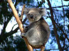 27 Cute and Cuddly Koala Photography | Naldz Graphics