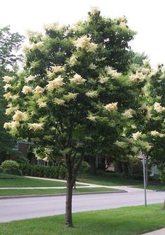 Chionanthus Virginicus White Fringe Tree This Is A Small