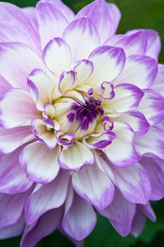 ~~Blue Wish Dahlia | decorative, as the flowers open, the purple tipped, white petals turn a more uniform shade of lilac. This creates a very pretty effect, and as the flowers are large, the overall picture is an impressive one. Their soft coloring mixes easily with many other shades, but is especially suited to bolder purples, white and all shades of pink | by Alan Buckingham~~