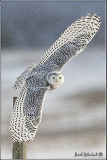 Snowy Owl (20140108-0528) | by Earl Reinink