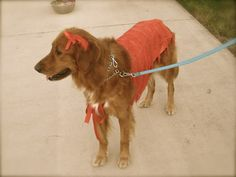 Halloween Costumes - Page 2 - Golden Retrievers : Golden Retriever Dog Forums...I should make charlie into a girl for halloween since everyone already thinks he is.