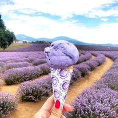 Lavender ice cream, Bridestowe Lavender Farm, Tasmania Bridestowe Estate is located 55 km from Launceston in Tasmania's North Eas Australia Tasmania Road Trip, Tasmania Travel, Lavender Ice Cream, Lavender Cottage, Lavender Garden, Photoshop, Holiday Destinations, Travel Destinations, Adventure Is Out There