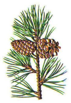 Major North American Conifers: Pine, Pitch
