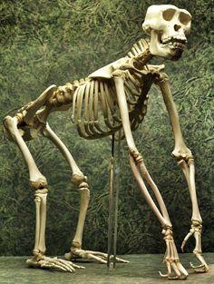 Young gorilla skeleton.