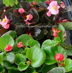 Begonias - This is what comes to mind for Begonia, but the genus contains about 1,400 different plant species. The Begonias are from tropical climates - in Canada we use them as annuals in the outdoor garden.
