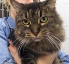 Adoptions - Tabby, cat, Tabby, Domestic Long Hair, Female/Spayed, Tabby, :: Niagara Falls Humane Society