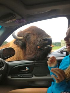 Who knew bison loved carrots so much? Emily Patrick found out that they indeed do adore the vegetable in a hilarious photo of pure culinary joy. Baby Animals, Funny Animals, Cute Animals, Wild Animals, Animal Pictures, Cute Pictures, All Gods Creatures, Magical Creatures, Animal 2