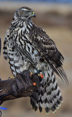 A goshawk. Because birds of prey are fascinating and I'm reading H is for Hawk.