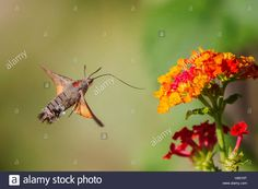 Download this stock image: Macroglossum stellatarum nectar feeding on flowers of Lantana camara - h95y9t from Alamy's library of millions of high resolution stock photos, illustrations and vectors.