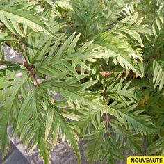 Sambucus racemosa 'Sutherland Gold', Sureau à grappes jaune vert #jardin #plante #fleur #graphic #graphicgarden #jardingraphique