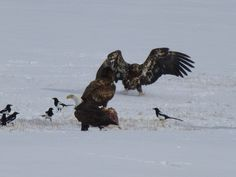 Bald Eagle, Golden, magpies fight over carcass in Montana
