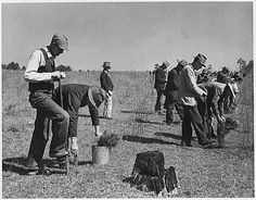 Members of the Civilian Conservatin Corp (CCC) planting during the Great Depression. - Picture from the FDR Library, courtesy of the National Archives and Records Administration.