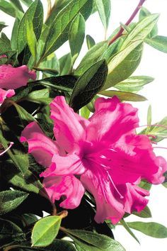16 Best Encore Azalea Flowers Design By Color Images Live Plants