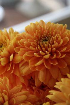 chrysanthemum Opera orange