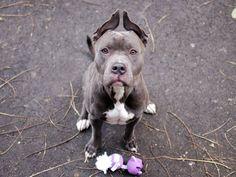 """GONE - BE AT PEACE11/27/13  Manhattan Center - P My name is ADRIAN.  #A0984630 Male gray & white pit bull mix.  1 YR 6 MTHS old.  STRAY on 11/10/2013, Loves to chase Please step up and save  him. Loves tennis balls, and follows command like such as """"sit"""" and shake """"paw"""". Housetrained,  displaying calmness as some teens passed noisily by in park.  He has been struggling with the chaos of the kennel, & the loss of a family (perhaps?).He's  beginning to withdraw & shut down into defensive mood…"""