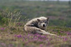 Photograph by // tundra wolf sleeping in a bed of lupine flowers, Canadian high Arctic Beautiful Creatures, Animals Beautiful, Of Wolf And Man, Maned Wolf, Wildlife Biologist, Arctic Wolf, African Wild Dog, Wild Wolf, Beautiful Wolves