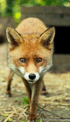 Фотография Red Fox, Vulpes vulpes автор Lily Mendes da Costa на 500px