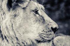 Sguardo fiero di una leonessa ... http://www.visionifotografiche.it/portfolio/la-leonessa #fotografia   #fotonatura  #photography