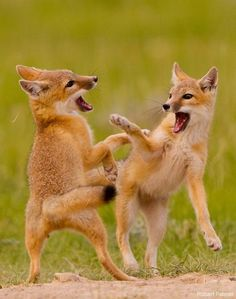 Foxes...so cute