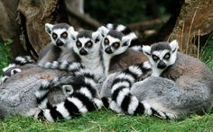 Ring-tailed lemurs are active both during the day and at night. Although they live mainly on the ground, they are very comfortable moving around in treetops. Lemurs escape to these treetops when threatened. They will defend their territory and signal alarm with loud calls.