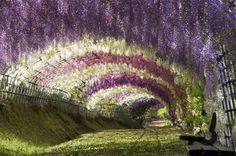 Тоннель глициний в японском саду цветов Кавати Фудзи, Китакюшу, Япония
